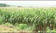Agricultores estimam perdas na produtividade de milho em Patos de Minas