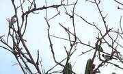 Fiscalização liberta cerca de 370 aves silvestres em Alagoas