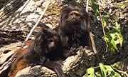 Globo Natureza: Mico-Leão-Preto