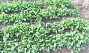 Cultivo de hortaliças é favorecido pela variação de temperatura típica do inverno