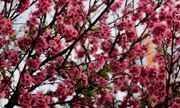 Florada de cerejeiras agita a 40° Festa das Cerejeiras, em São Paulo