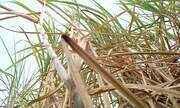 Futuro do produtor de cana de açúcar é analisado em evento em Campo Florido