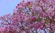 Ipês-roxos florescem e enfeitam paisagens do RN