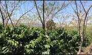 Confira como está o plantio de café em Moçambique desenvolvido por pesquisadores da Ufes