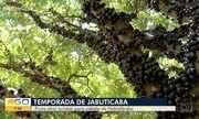 Safra da jabuticaba atrai turistas a Hidrolândia, que tem maior pomar da fruta no Brasil