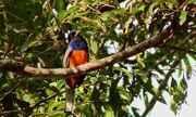 Diário de Campo te apresenta característica da ave surucuá-variado