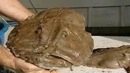 Peixe-sapo é pescado no Extremo Sul do Brasil