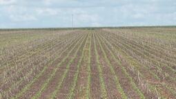 Estiagem prolongada causa problemas aos produtores de soja do oeste baiano