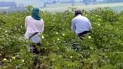 Investimento em plantação de quiabo aumenta a produção em Piacatu