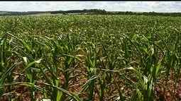 Número de produtores que apostam na 2ª safra do milho safrinha é cada vez maior em Goiás