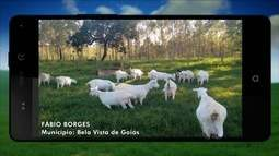 Produtor mostra criação de caprinos em sítio em Bela Vista de Goiás
