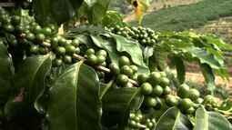 Produtores investem na produção de café em Marechal Floriano, ES