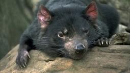 Globo Natureza: Diabo-da-Tasmânia