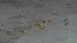 Femarh convoca criadores de pássaros em Roraima para fazer a renovação de licenças