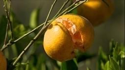 Especialista explica como corrigir lavouras que dão frutos que racham ainda no pé