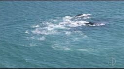 Grupo de baleias é flagrado no canto da Praia Grande, em Arraial do Cabo, no RJ