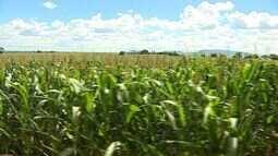 Produtores esperam queda na produção do milho