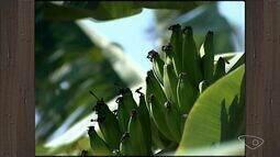 Produtores de banana sofrem com reflexos da seca em Iconha no Sul do ES
