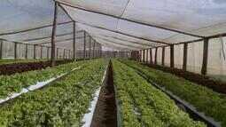 Estufas são aliadas dos produtores na plantação de hortaliças
