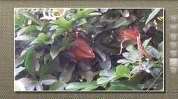 Monguba não tolera baixas temperaturas e produz frutos comestíveis