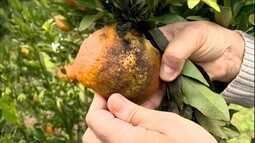Agrônomo dá orientações para o controle de fungos que atacam tangerina ponkan