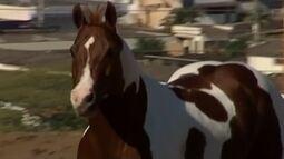 Raça de cavalo campeã começa a ganhar força no Alto Paranaíba