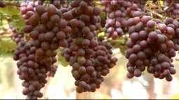 Produção de uva no Triângulo Mineiro está acima da média nacional