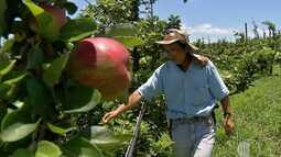 Tempo frio atrasa safra de maçãs em Suzano