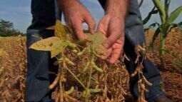 Agricultores fazem aplicações preventivas de fungicidas