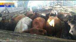 Suspeitos de furto de gado são presos em Restinga Seca