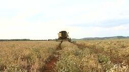 Produtores da região de Itapetininga esperam pela colheita de feijão