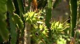 Produtores investem no cultivo da pitaia no oeste paulista