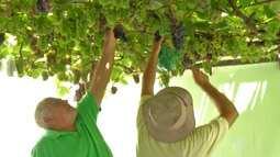 Videira em casa chama atenção de moradores de Ferraz de Vasconcelos