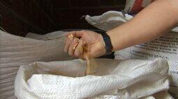 Ração à de milho é alternativa para o gado em tempos de estiagem prologanda
