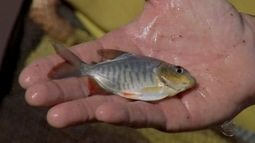 Peixe híbrido são desenvolvidos a partir de cruzamento de espécies diferentes