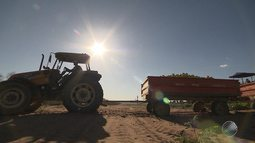 Tecnologia ajuda na safra de melão em Ribeira do Amparo, no semiárido baiano