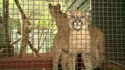 Filhotes de puma são resgatados e recebem tratamento especial