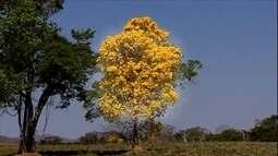 Nativo das Américas, ipê está adaptado a diferentes regiões do Brasil