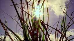 Cana-de-açúcar sente os efeitos da seca em Alagoas