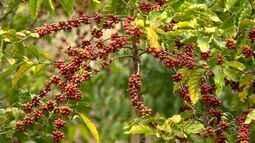 Importação do café conilon para o Brasil preocupa produtores do ES