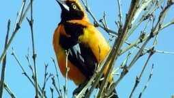 João-pinto tem canto melodioso e um modo curioso de buscar alimentos