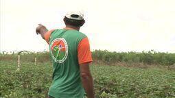 Cultivo da batata doce é alternativa de diversificação de cultura no Agreste