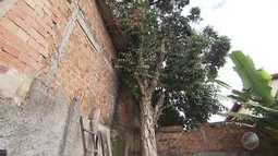 Com infestação de cupins, árvore gigante preocupa moradores do Pau da Lima