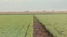 Cultivo de grão-de-bico anima produtores no oeste de MT