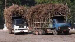 Após período de seca no Sul do ES, cresce a nova plantação de cana-de-açúcar