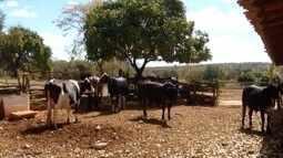 Seca afeta a produção de leite no Norte de Minas
