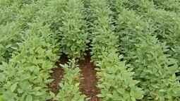 Para controle da ferrugem asiática, projeto quer proibir plantio de soja na safrinha em MS