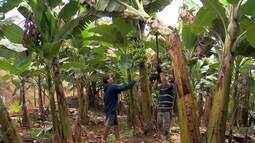 Festa da Banana 2017 começa na próxima semana em Piau