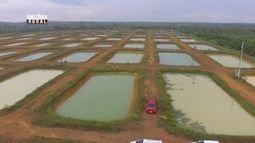 Parte 3: No AM, cresce a produção de peixes em grande escala