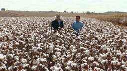 Produtores estão animados com a colheita de algodão em Patrocínio